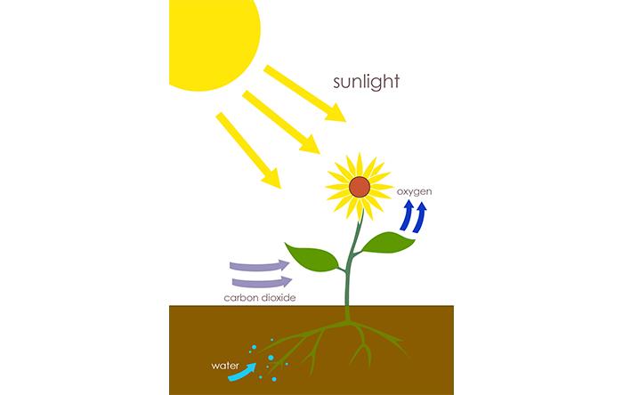 فرایندی در گیاهان، آب و کربن دیاکسید به اکسیژن و قند تبدیل میشود را فتوسنتز میگویند