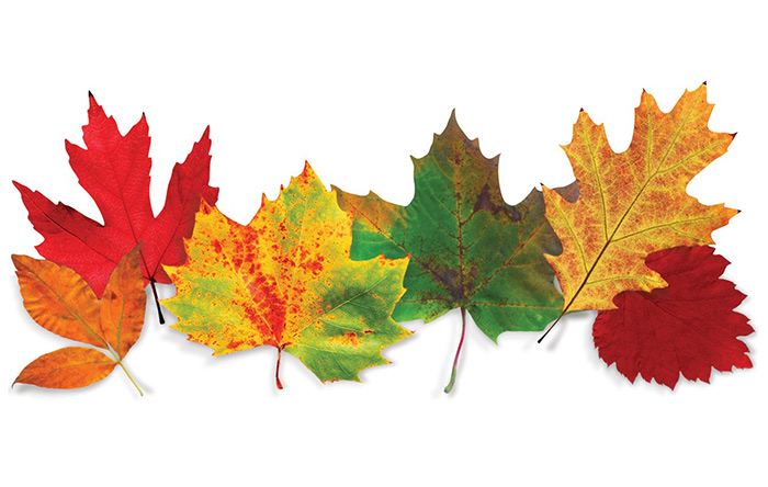 رنگ برگها به دلیل حضور شاخصتر کاروتنوییدها زرد، نارنجی و گاه قرمز میشود