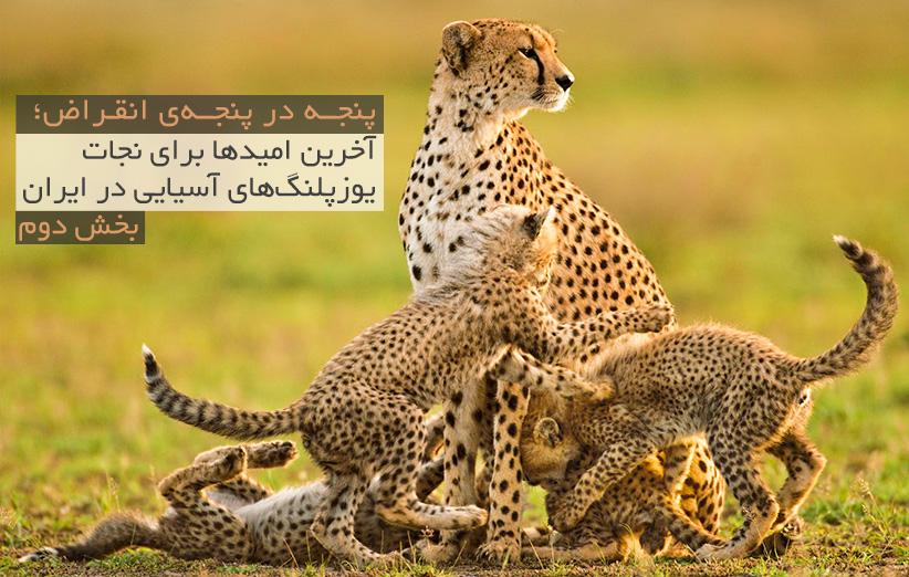 پنجه در پنجهی انقراض؛ آخرین امیدها برای نجات یوزپلنگهای آسیایی در ایران (بخش دوم)