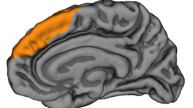 The PCS is a furrow tucked inside the front of the brain, in the region highlighted in yellow. This illustration shows the inward-facing surface of the right hemisphere