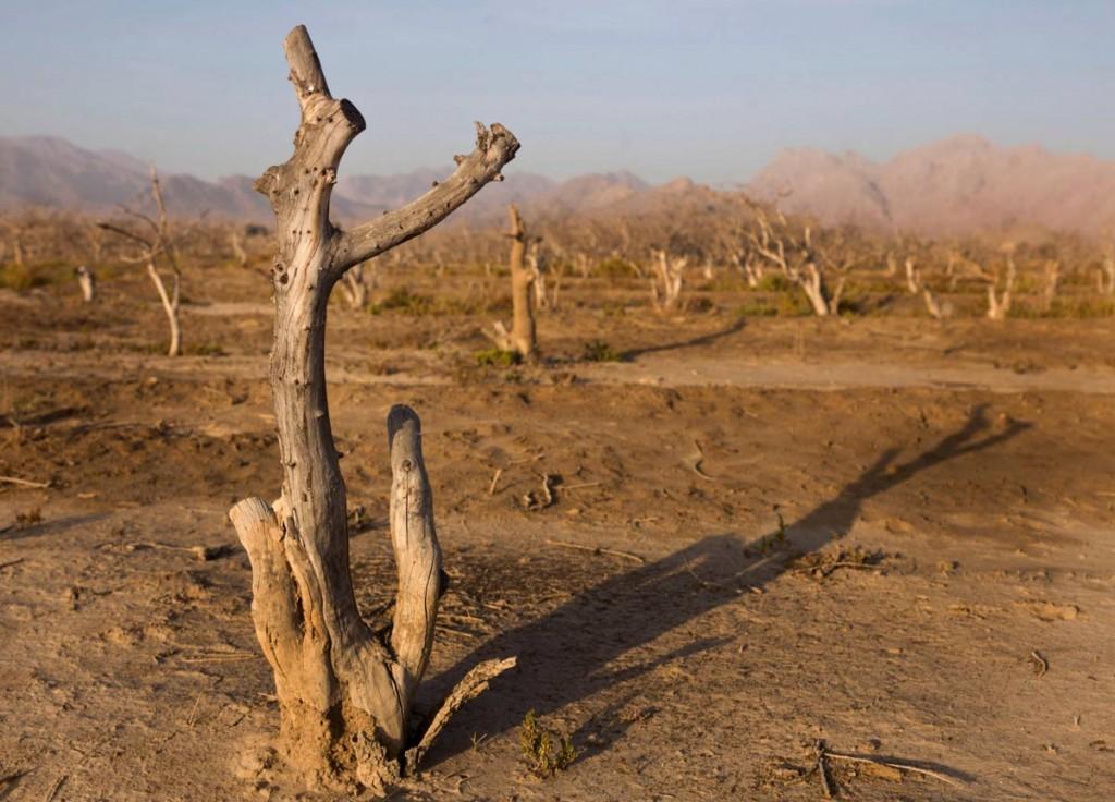 درختان خشک شدهی پسته. کشاورزی ۹۰ درصد منابع آب ایران را مصرف میکند. عکس از نیوشا توکلیان، نیویورک تایمز