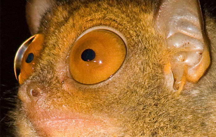 در شبکیه چشم شبگردها نیز درست مثل گربهها بیشتر از ۳۰۰ هزار سلول استوانهای وجود دارد.