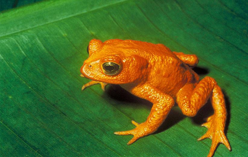 وزغ زیبای طلایی تنها گونهای نیست که در ظرف ۴۰ سال اخیر منقرض شده اما بدونتردید این گونه یکی از زیباترین و منحصربفردترین گونههایی بوده که طبیعت دیگر نظیر آن را کمتر به خود خواهد دید.