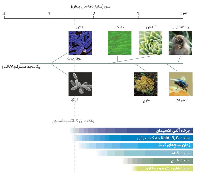 در همهی دامنههای حیات، شامل یوکاریوتها، باکتریها و آرکیاها، چرخهی ساعت زیستی یافت شده است.