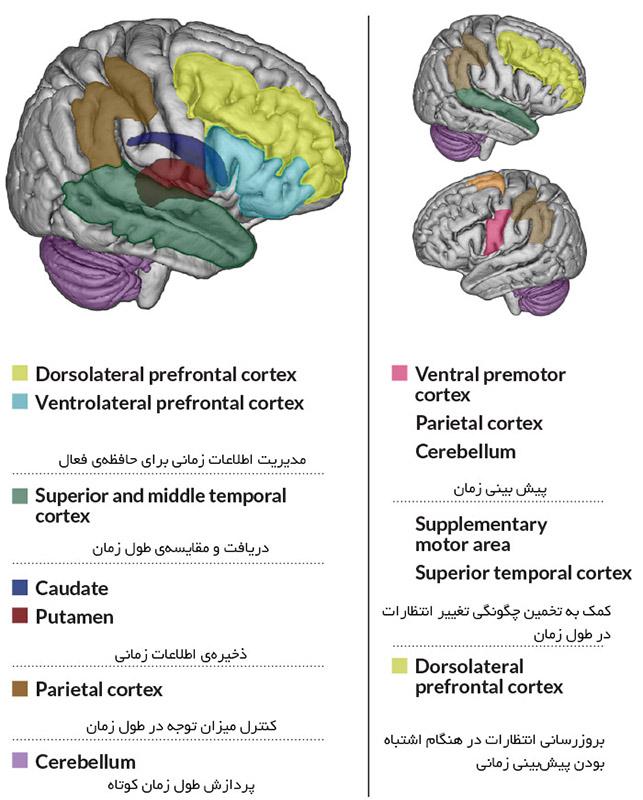 قسمتهای مختلف مغز وظایف مختلفی را در زمانسنجی بر عهده دارند.