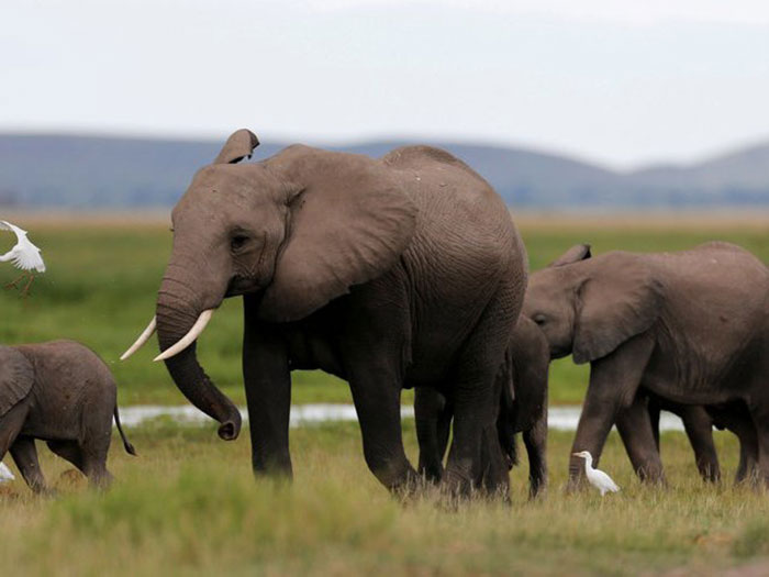 12-elephants-500-deaths-a-year