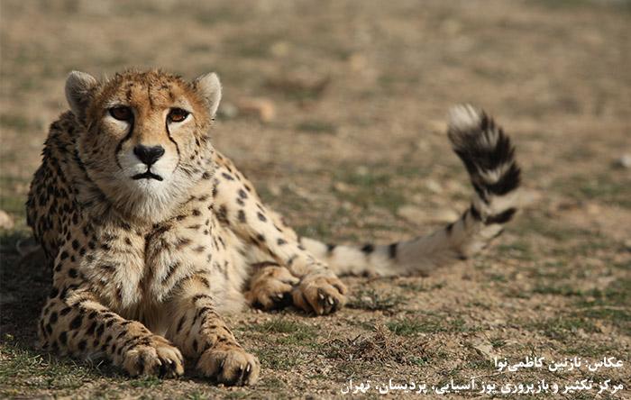 بعد از انقراض شیر ایرانی و ببر مازندران، هماکنون یوز آسیایی بزرگترین گربهسان ایران بعد از پلنگ است که از طعمههایی نظیر جبیر، قوچ و میش و کل و بز تغذیه میکند