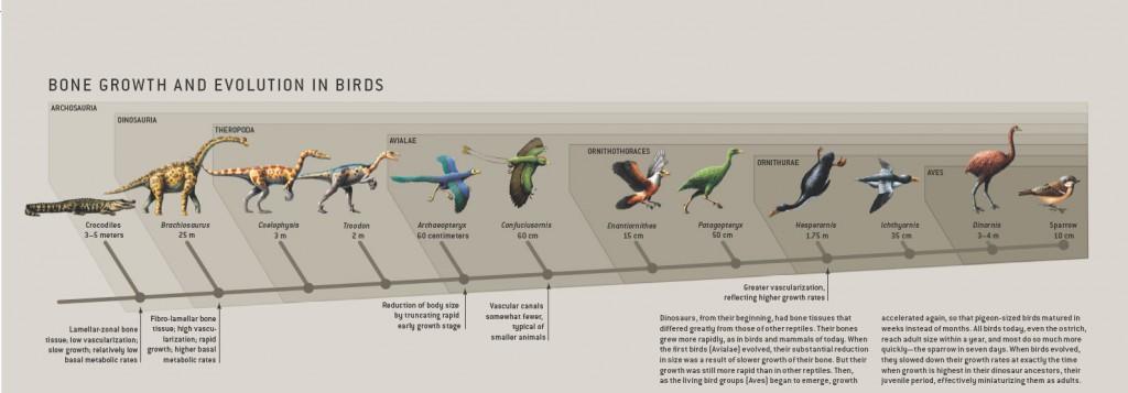 پیشتر تصور میشد که دایناسورها با یک جهش تکاملی به پرندهها تبدیل شدند. ولی اکنون مشخص شده که فرایند تکامل خیلی تدریجی بوده است.