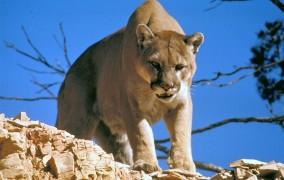Idaho mountain lion
