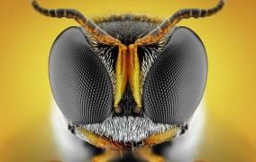 زنبور بی عسل