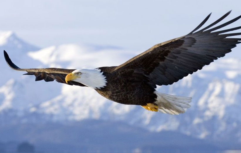 Eagles are being trained to take out illegal drones