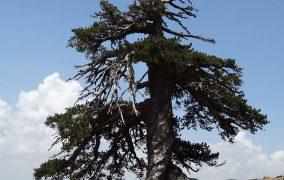 درخت هزار ساله