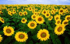 گلهای آفتابگردان