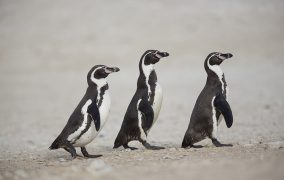 انقراض پنگوئن ها