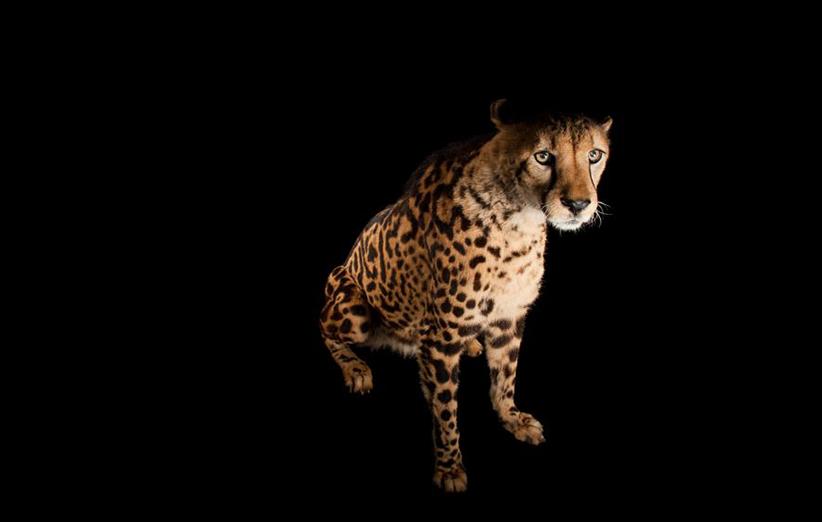 یک یوزپلنگ میتواند سریعتر از خیلی از ماشینها و تنها در ظرف ۳ ثانیه از ۰ به ۹۶ کیلومتر در ساعت ( ۰ به ۶۰ مایل در ساعت) سرعت برسد.