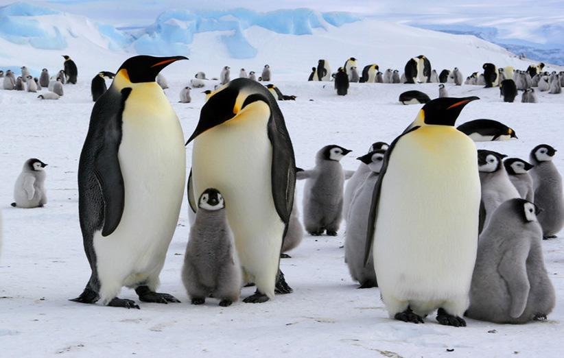پنگوئنهای امپراطور بخش اعظم زمستان را بر روی یخهای باز میگذارند و حتی در این فصل سخت و ناملایم سال زادآوری هم میکنند