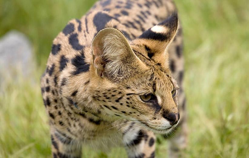 عکس ۳- تصویر یک سروال یا یوزگربه در باغوحش سندیهگو