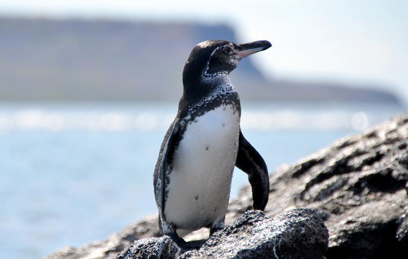 عکس ۳- پنگوئن گالاپاگوس که برای زیستن در نواحی گرم، دستخوش سازگاریهای آناتومیکی و رفتاری شده است.