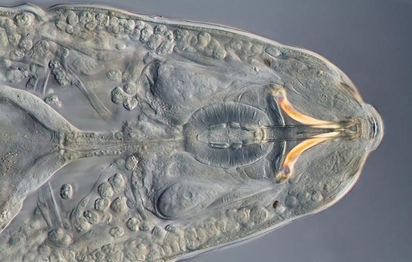 موشکافی تصویر میکروسکوپی یک خرس آبی