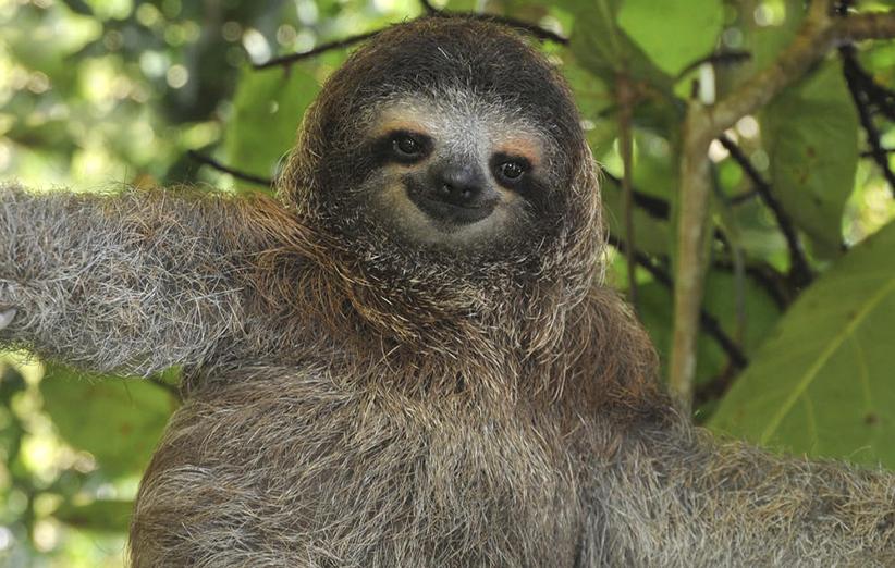 تنبلها، کندترین پستانداران روی کره زمین که در آمریکای مرکزی و جنوبی زیست میکنند