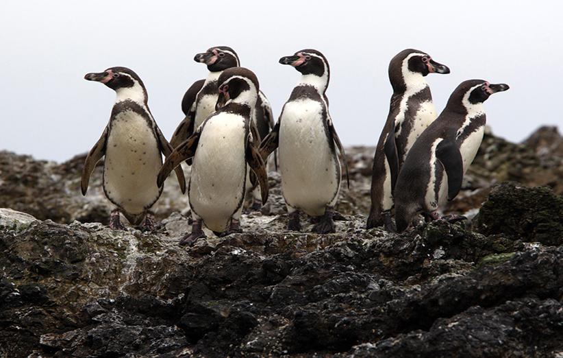 اجتماع پنگوئنهای هومبولت