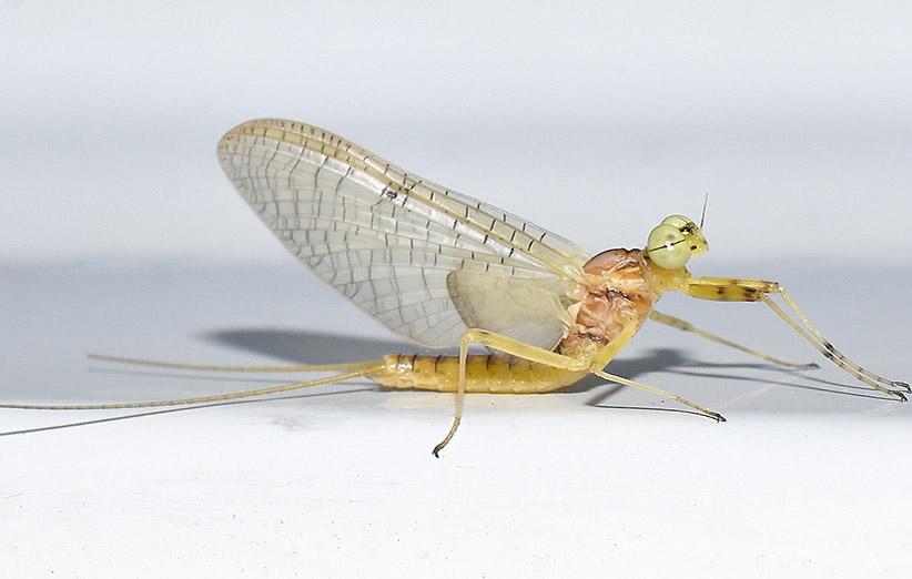 عکس ۸- تصویر یک حشره بالغ یک روزه