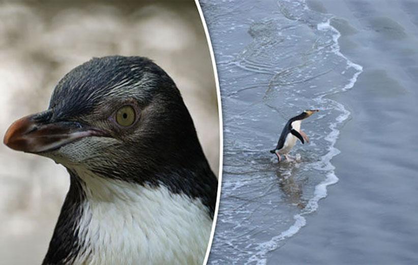 عکس ۸- تصویری از پنگوئنهای چشم زرد که به احتمال زیاد در ظرف ۵۰ سال آینده منقرض خواهد شد مگر آنکه طرحهای جدی حفاظتی برای آن منظور گردد.