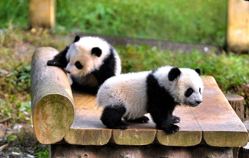 Panda 7 عجایب جنسی حیوانات و بررسی چند مورد از جفتگیری های عجیب نیوز