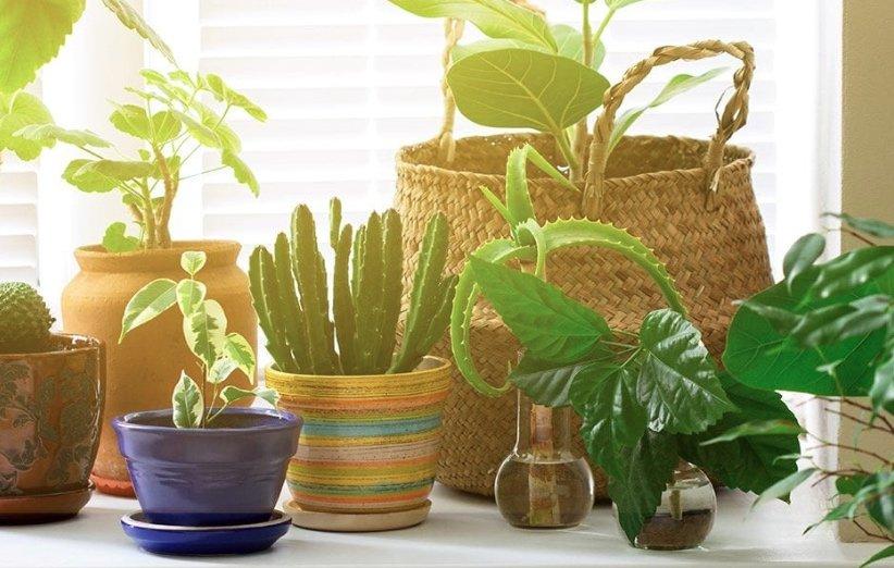 گیاهان خانگی