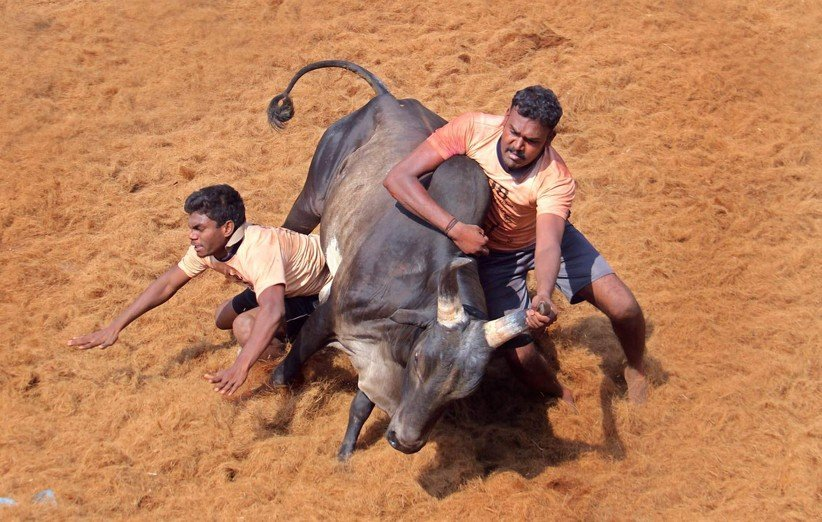 گاوبازی (Bull Fighting)