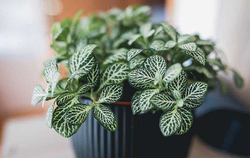 فیتونیا؛ از گیاهان آپارتمانی رطوبتدوست