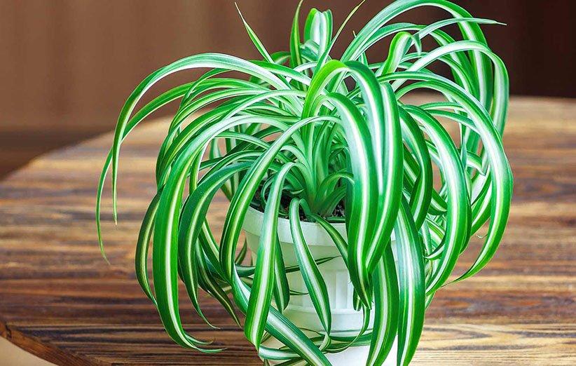 گندمی؛ از گیاهان آپارتمانی محبوب