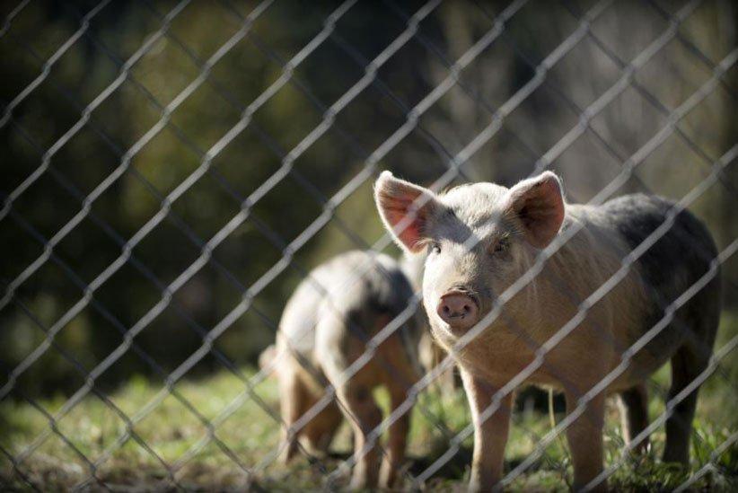 هواوی و پرورش خوک