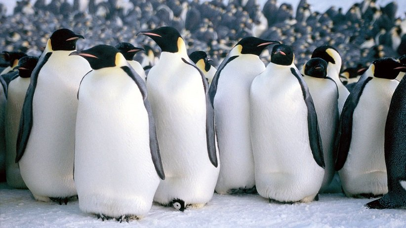 رژهی پنگوئنها