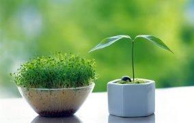 کاشت سبزهی عید نوروز
