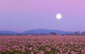 ماه کامل در دشتی از گل صورتی فلوکس