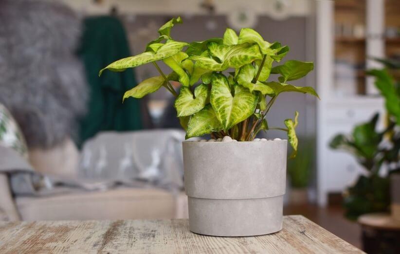 گیاه آپارتمانی خطرناک - گیاه پیکان