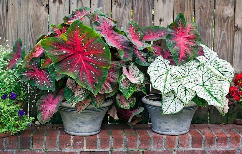 گیاه آپارتمانی خطرناک - کالادیوم