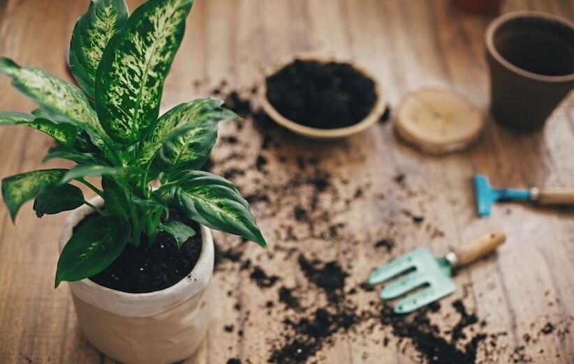 گیاه آپارتمانی خطرناک - دیفنباخیا