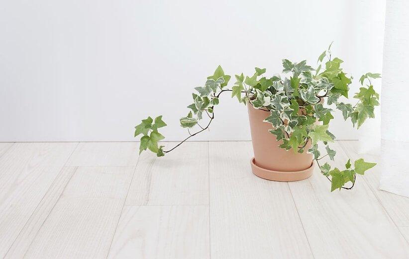 گیاه آپارتمانی خطرناک - پیچک