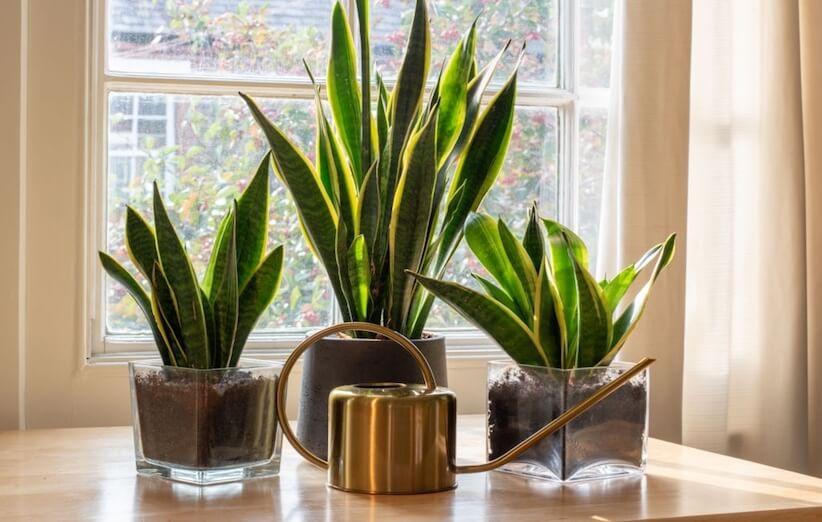 گیاه آپارتمانی خطرناک - زبان مادرشوهر یا گیاه پوست ماری