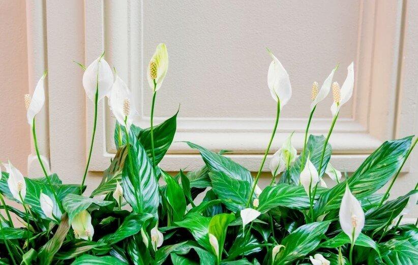 گیاه آپارتمانی خطرناک - سوسن صلح