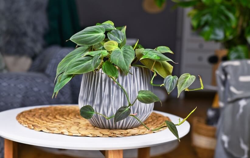 گیاه آپارتمانی خطرناک - فیلودندرون