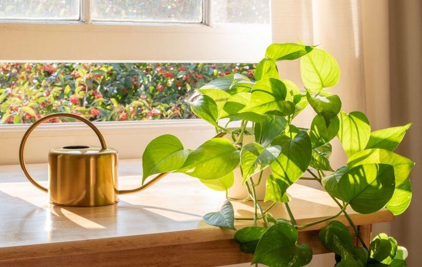 گیاه آپارتمانی خطرناک - پتوس