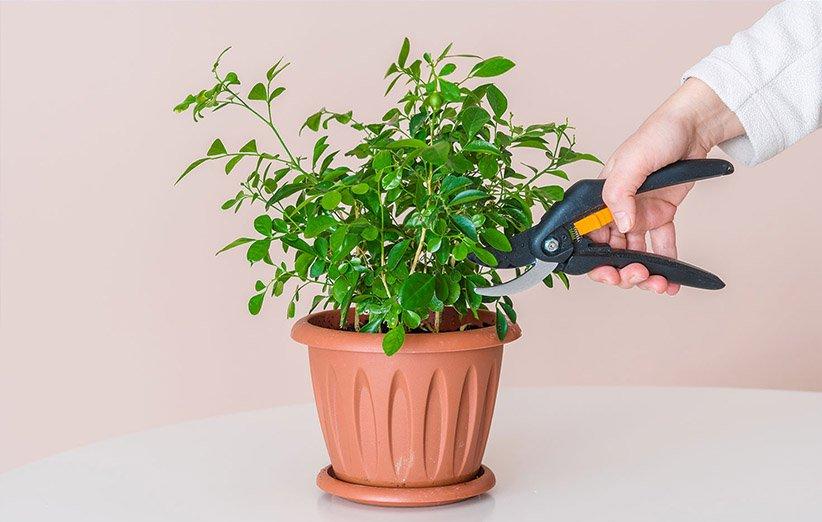 هرس کردن گیاهان آپارتمانی
