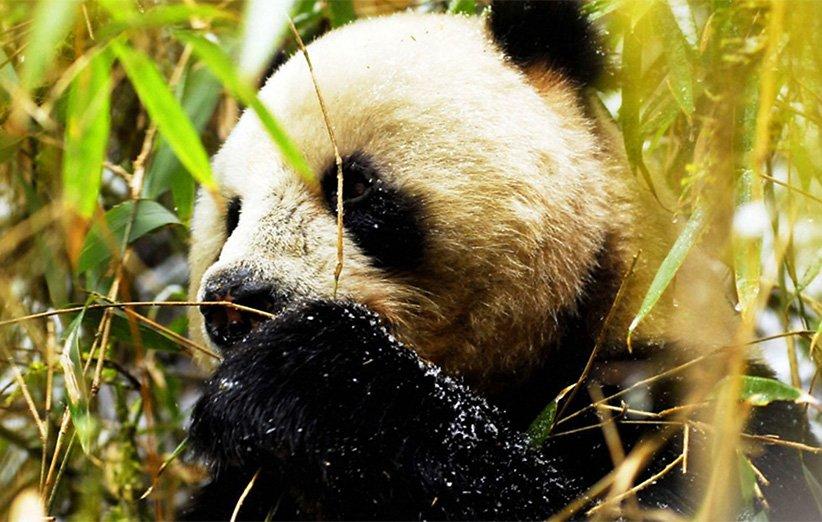 چین وحشی. مستند طبیعت. ۲۰۰۸