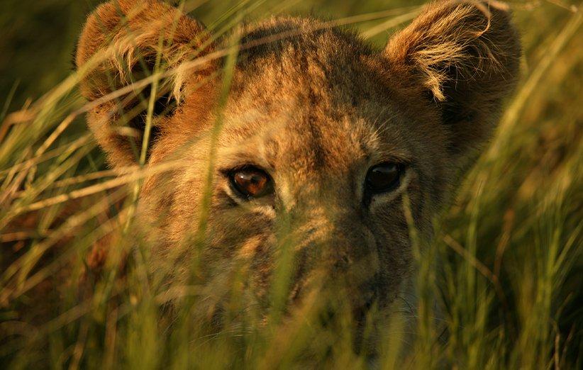 آخرین شیرها.مستند طبیعت. ۲۰۱۱