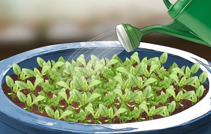 مرحلهی دوم کاشت اسفناج: کاشت بذر
